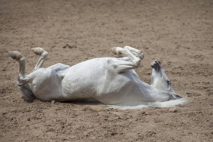 Välmående häst rullar sig